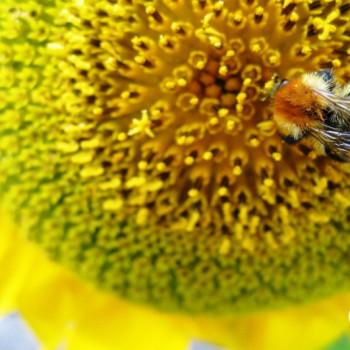 Wallpaper Sonnenblume mit Biene