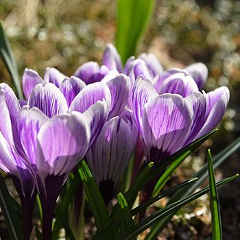 Krokusblüten in violett-weiss im Frühling