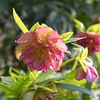 Christrose mit rosa Blüte im Frühling