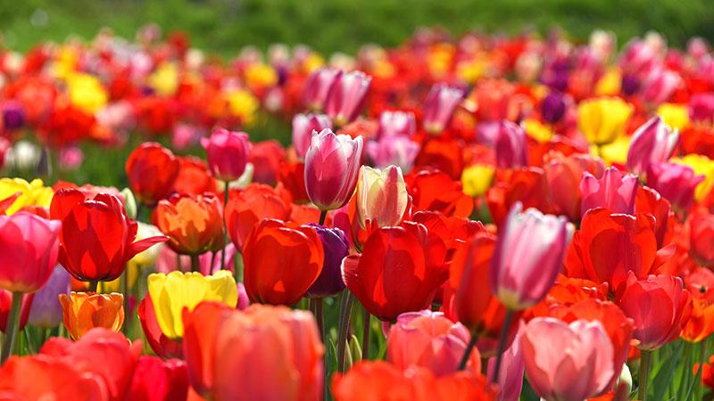 Bunte Tulpen im Frühling