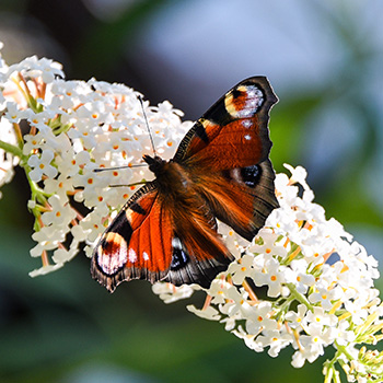 Schmetterling Pfauenauge auf Flieder