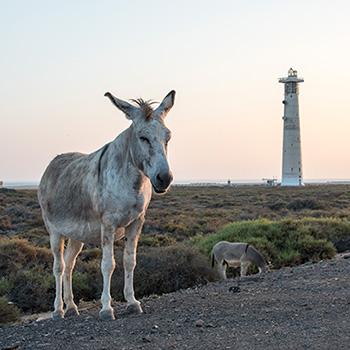 Leuchtturm mit Esel auf Fuerteventura Spanien