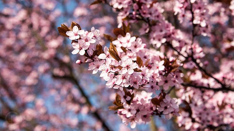 Frühling mit rosa Blüten Deutschland