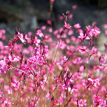 Rosa Blüten in Stageira Griechenland