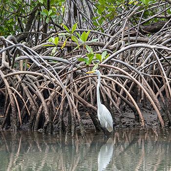 Weißer Reiher im Mangrovenwald