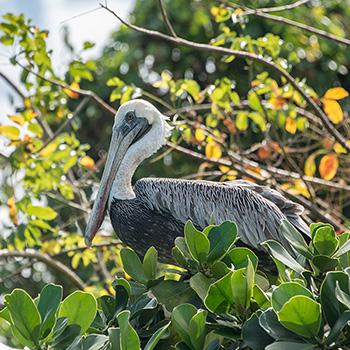 Pelikan im Baum