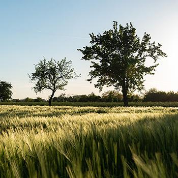 Sonnenuntergang am Getreidefeld