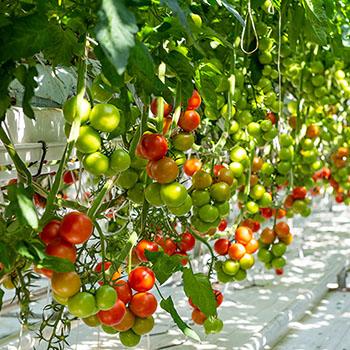 Tomaten im Gewächshaus von Fridheimar