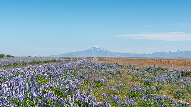 Lupinen und Schneeberge in Island