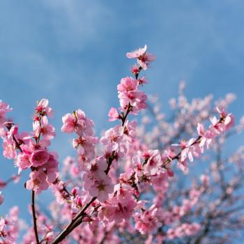Frühling in Deutschland Baum mit rosa Blüte
