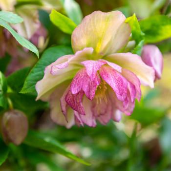 Blüte einer Christrose im Frühling