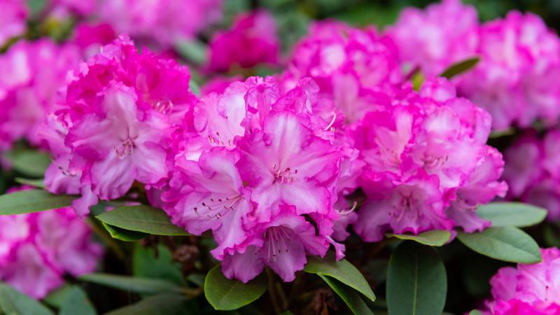 Blühender Rhododendron im Frühling