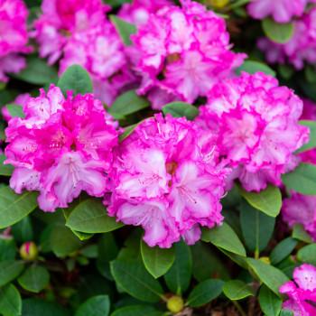 Pinke Blüten unseres Rhododendron