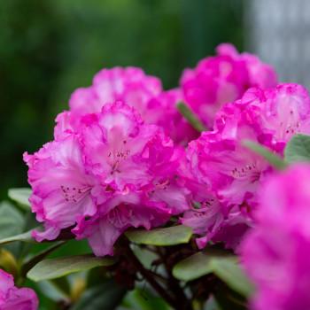 Rhododendronblüte im Frühjahr