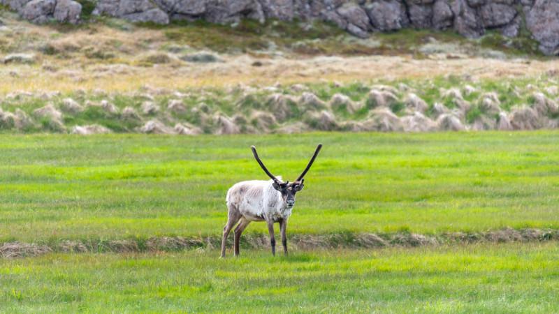 Rentiere im südosten von Island