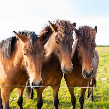 Pferde in Island