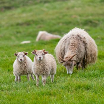 Süße Schafe in Island