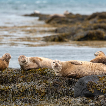 Seelöwen am Ytri Tunga Strand