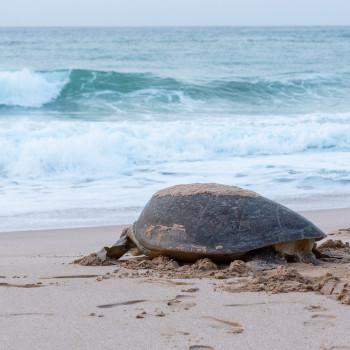 Ras Al Jinz Turtle Reserve im Oman