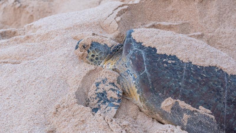 Große Meeresschildkröte