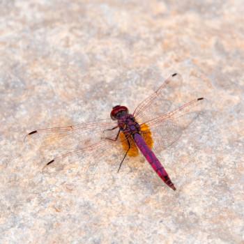 Libelle am Wadi Bani Khalid