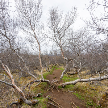 Birkenwald in Island