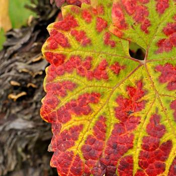 Buntes Weinblatt im Herbst