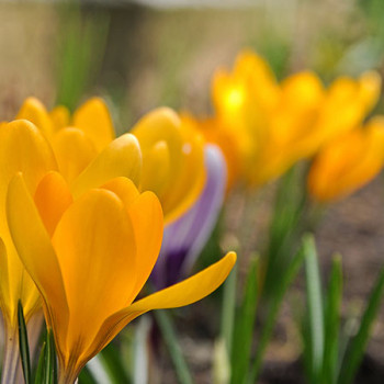 Gelber Krokus im Frühling