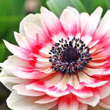 Weiß-rosa Blüte im Frühling