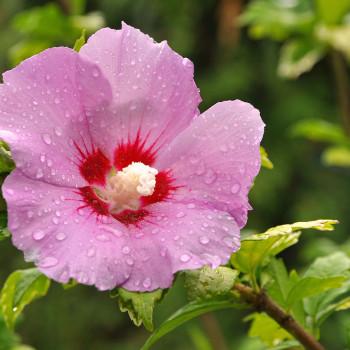 Bild Hibiskus mit rosa Blüte