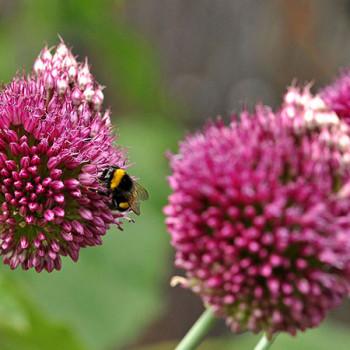 Schöne fleissige Biene auf Blume