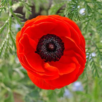 Rote Blüte im Garten