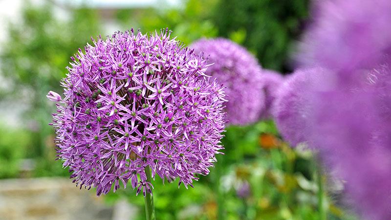 Lila runde Blüte