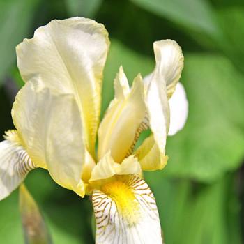 Weiss-gelbe Schwertlilie