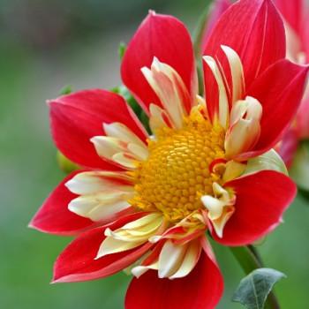 Schöne rot gelbe Blüte