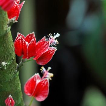 Malvengewächs mit roten Blüten am Stamm