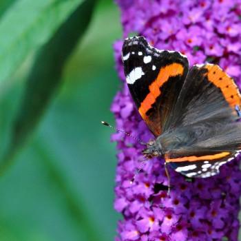 Schmetterling auf Sommerflieder