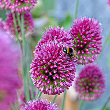 Fleissige Biene auf einer Blüte