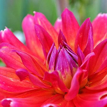 Blüte einer Dahlie in Pink