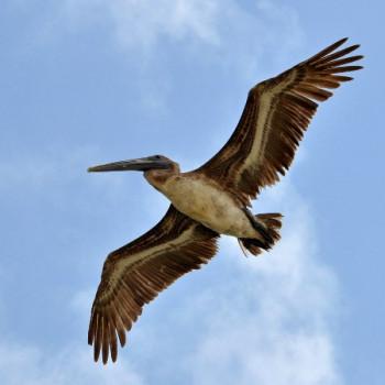 Pelikan am blauen Himmel