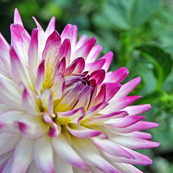 Dahlie in weiß-violett