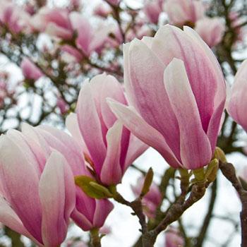 Die Magnolie - eine blühende Schönheit