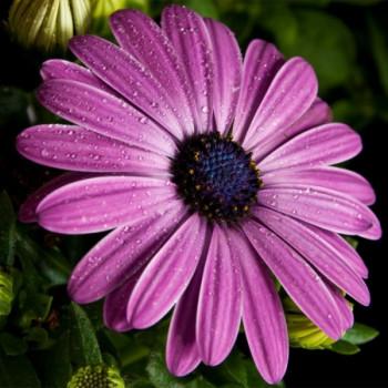 Kapkörbchen Blüte in violett