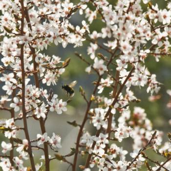 Fliegende Hummel zwischen Frühligsblüten