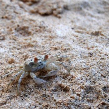 Krebs im Sand der Blue Bay Mauritus