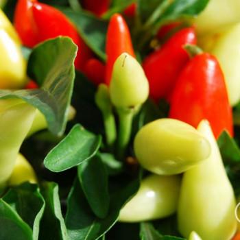 Wallpaper Zierstrauch mit bunten Chilis